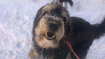 """Ronda-koira: """"Ulkona on mukavaa, kun lunta tulla tuiskuttaa!"""" Kuva: Jonna Hiltula"""