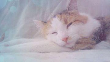 Siscy-kissa. Kuva: Anna-Maria Tikka