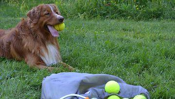 """Leevi-koira: """"Yksi pallo ei vaan riitä!"""" Kuva: Noora Hokkanen"""