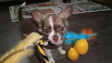 """Elvis-koira: """"auskaa Pääsiäistä toverit!"""" Kuva: Tiia Ikäheimonen"""