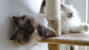 """Dexter-kissa: """"Dexter (2 vuotta) on niin linssilude :)"""" Kuva: Kati Nordlund"""