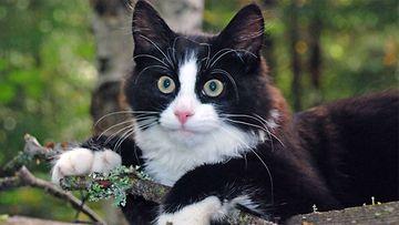 """Pörri-kissa: """"Pörri on utelias ja leikkisä 5kk poika, tykkää kiipeillä puissa ja katsella luontoa."""" Kuva: Seppo Ikäheimo"""