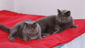 Poju ja Pirre meidän perheen ihanat kissat <3 Kuva: Anne Salminen