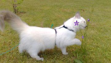 """Ada-kissa: """"Neidon suloisuuden ensimmäinen kesä täynnä luonnon ihmeitä... mikähän tuossa kissankellossa pörisee...?"""" Kuva: Anneli Mäkelä"""