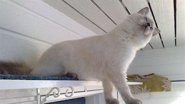 Ada-kissa: Pääsisköhän vielä ylemmäs...  Kuva: Anneli Mäkelä