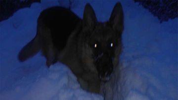 """Roi-koira: """"Rakastaa lunta ja tykkää peuhata siinä=) 1,5 vuotias ikäinen saksanpaimenkoira."""" Kuva: Karoliina Mustakallio"""