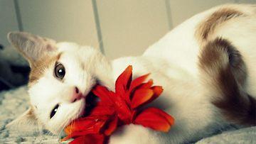 """Joose-kissa: """"Hei! Olen vuoden ikäinen pikku kolli ja rrrakastan jyrsiä ja tuhota kaikkea mitä eteeni tulee! Omistajaani kohtaan olen silti hellempi kuin tuota kyseistä kukkaa."""" Kuva: Minna-Mari Palviainen"""