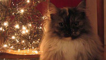 """Pimpula-kissa: """" Villikko lepää välillä... """" Kuva: Anneli Kurttio"""