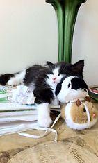 Rapido-kissa: Pikkukissojenkin pitää nukkua leikin jälkeen. Kuva: Lari Harjunen