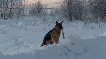 """Yrjö-Oberon Nomades-koira: """"Yrjö noutaa patukkaa."""" Kuva: Katariina Eno"""