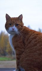 """Velmu-kissa: """"Nimensä mukainen hauska kissa jolla riittää temppuja,muutti maalle meidän kissaksi kun ei viihtynyt sisäkissana."""" Kuva: Pirjo Räsänen"""