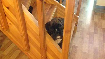 "Denzel Washington -koira: ""Uusi perheenjäsenemme, Denzel, 8 vkoa."" Kuva:"