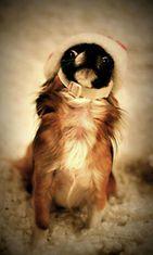 """Doris-koira: """"Tässä lämminmielisessä joulukuvassa poseeraa chihuahuatyttö Doris hyvin tyytyväinen ilme kasvoillaan. ;)"""" Kuva: Reeta Jalonen"""