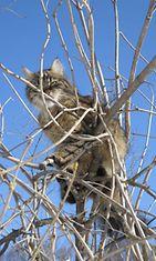 """Mikke-kissa: """"Hän on kuin ilves! Ihmisrakas."""" Kuva: Tuulikki Varis"""