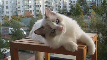 """Rauno-kissa: """"Rauno, 5 kk, 5 kg."""" Kuva: Riitta Kutja"""