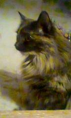 """Lotta-kissa: """"Tässä Lotta Neiti 5v Jolla olis kavereina 2 kissaneitii 1 pieni uroskoira sekä kääpiöhamsteri poitsu Mutta Lotta ei halua lähelleen muita kuin Ihmisen, sekä Ruokaa ja Pedin. Ulkoilua hän Rakastaa! =D"""" Kuva: Maarit Sundström"""