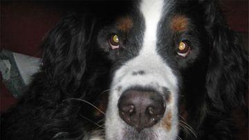"""Hector-koira: """"Pikkuinen' bernipoika: säkä yli 70 cm ja paino yli 70 kiloa."""" Kuva: Pia Welling"""