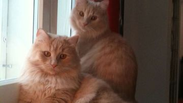 """Felix- ja Leo-kissa:""""Veljekset-aina yhdessä!"""" Kuva: Iida Malmström"""