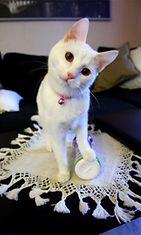 Nelli-kissa. Kuva: Kirsi Remes