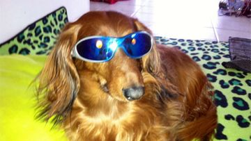 """Sulo-koira: """"Mä tässä ajattelin lähteä Discoon!"""" Kuva: Jade Vuorinen"""