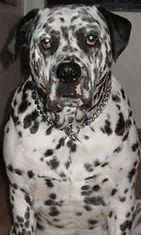 """Elvis-koira: """"Olen veikeä dalmatialaisen ja englanninbuldogin sekotus, olen 12 vuotias ja rakastan nukkumista sekä syömistä. Äänestäkää minua !"""" Kuva: Olga Kunnari"""