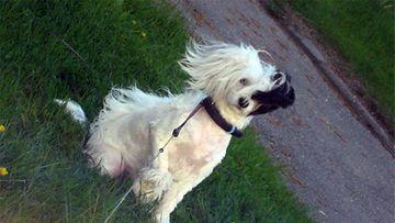 "Nana-koira: ""Kiinanharjakoira tyttö"" Kuva: Tiina Heino"
