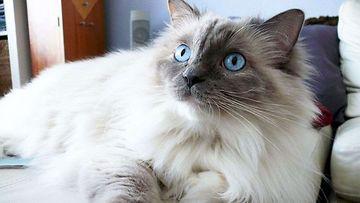 """Alli-kissa: """"Hmmm...avasiko joku kenties ruokapurkin keittiössä?"""" Kuva: Tuukka Vepsäläinen"""