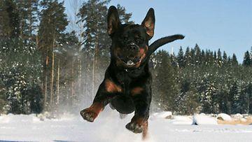 """Jekku-koira: """"Iloinen Rottweiler pakkashangelle."""" Kuva: Paula Vuojärvi"""
