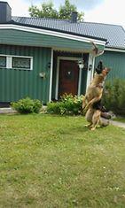 Roi-koira tykkää 'koppi' leikistä=) Kuva: Karoliina Mustakallio