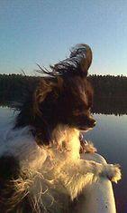 """Ressu-koira: """"Ressu on innokas veneilijä.Pelastusliivit pitäisi varmaan hankkia, ettei putoa veneestä."""" Kuva: Pirjo Saastamoinen"""