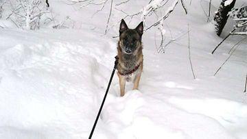 """Otto-koira: """"Lumen keskellä =)"""" Kuva: Laura Kalliainen"""
