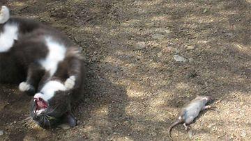 """Tyttökissa nimeltä Topi: """"Topi näyttää miten hiiri makaa."""" Kuva: Helena Korkeasaari"""