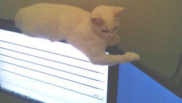 """Sintti-kissa: """"Sintti ,2 v., löytää ne kummallisimmat nukkumapaikat. Ei kannata olla turhan nirso, kyllähän sitä voi nukkua jopa litteän näytön päällä!"""" Kuva: Susanna Kalliomäki"""