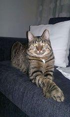 """Arttu-kissa: """"Sohvan kuningas."""" Kuva: Kirsi Pulkkinen"""