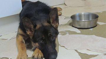 Nala-koira:  Nalan tihutyö. Kuva: Raija Kullaanvirta