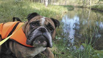 Massa-koira Kuva: Helmi Romppanen
