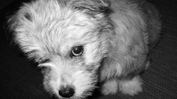 """Aksu-koira: """"Aksu-koira pienenä :)"""" Kuva: Maija Ahtoniemi"""