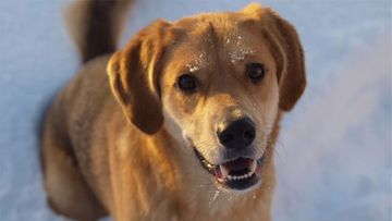 """Diana-koira: """"Touhuneiti talven riennoissa."""" Kuva: Anna-Reeta Pakarinen"""