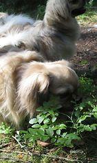"""Mimi-koira: """"Mustikansyöjä toimessaan."""" Kuva: Tiina Hirvonen"""