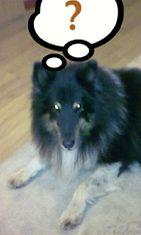 "Vili-koira: ""Vili huilailemassa."" Kuva: Tiina Moisio-Rusila"