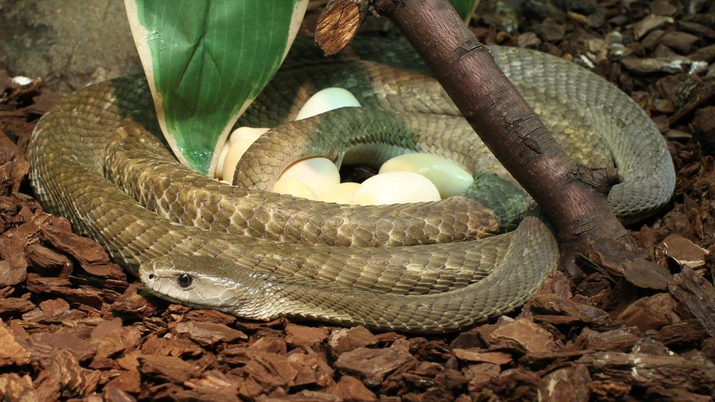 Valkoinen Käärme