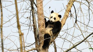 A panda sits in a tree at the panda breeding center in Chengdu, in southwest China's Sichuan province 03 December 2012.