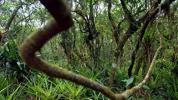 Amazonin sademetsää Brasiliassa.