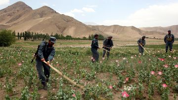 Afghan Police destroy poppy (raw material to be used in making Heroin) feilds in Deshala district and Pol-e-Hisar district of Baghlan province, Afghanistan on 13 June 2011. According to media reports, Afghanistan's share of global poppy production has, over the last 2 years, dropped to 77 per cent in terms of tonnage, but it has remained the world's biggest opium-producing country. EPA/NAQEEB AHMED