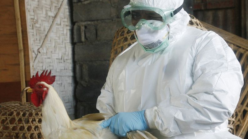 Arkistokuva Indonesiasta, jossa hävitettiin lintuja lintuinfluenssan takia huhtikuussa 2012.