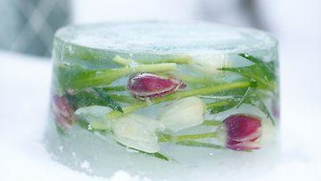 Kauniit tulppaanit koristavat jäälyhtyjä. Kuva Huiskula Oy