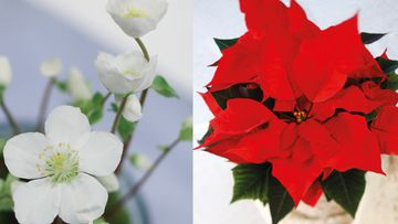 Jouluruusu ja joulutähti tuovat joulun kotiin. Kuvat: Huiskula.