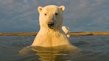 Jääkarhu tuli tervehtimään.