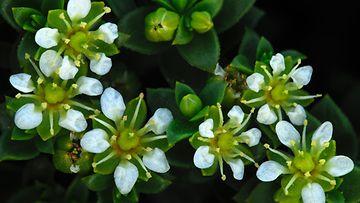 Valkoiset kukat ovat kauniita.