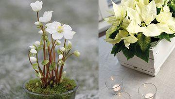 Jouluruusu ja joulutähti luovat valkoisen tunnelman. Kuvat: Huiskula
